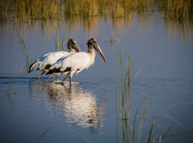 Two large wood storks wade in pond Stock Photo