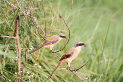 Two larks Stock Images
