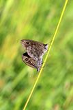 Two Lasiommata maera butterflies mating. Two Lasiommata maera (Large Wall Brown) butterflies mating on grass. Blurred background. Photographed in Salo, Finland Royalty Free Stock Images