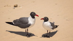 Two Laughing Gulls (Larus atricilla) on South Padre Island Beach Royalty Free Stock Photos