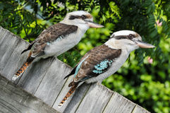 Two laughing kookaburra sit on a wooden fence Stock Images