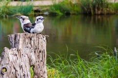 Two laughing kookaburras. Two laughing birds kookaburras sitting on a tree stump Stock Photos