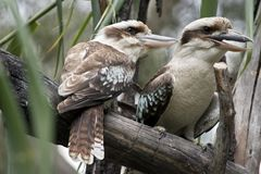Two laughing kookaburras. The two laughing kookaburras are sitting in a gum tree Royalty Free Stock Images