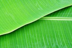 Two Layer Banana Leaf Stock Image