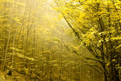 Two layers of trees in an autumn Royalty Free Stock Photo