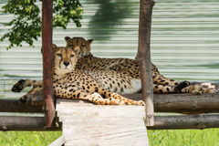 Two lazy cheetahs resting Royalty Free Stock Images