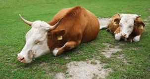 Two lazy cows sleeping in the grass. Lazy mother cow and her daughter sleeping at daylight in the grass Stock Photos