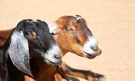 Two lazy goats with space for copy Royalty Free Stock Photo