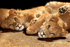 Two lazy lions looking at the camera. Two lazy young lions looking at the camera Stock Images