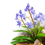 Two-leaf squill isolated on white. Flower design - floral border made of Scilla bifolia (two-leaf squill or alpine squill) isolated on white stock photography