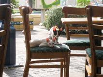Two lean thin eastern eared cats resting on a chair Royalty Free Stock Photography