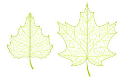 Two leaves. Stock Image