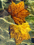 Two Leaves. Two Colorful floating leaves in the water Royalty Free Stock Photos
