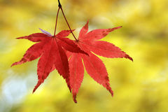 Two leaves. Two red leaves on the yellow background Stock Image