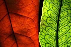 Two leaves. Illuminated by a back light Royalty Free Stock Image