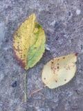Two leaves autumn fall season royalty free stock photos