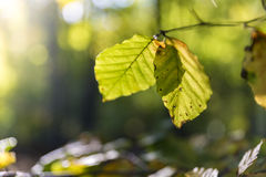 Two leaves of a beech Royalty Free Stock Images