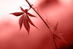 Fresh leaves with bokeh in colour of the year 2019 Pantone - Living Coral. Two leaves with bokeh in colour of the year 2019 Pantone - Living Coral stock photography