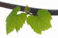 Two leaves on branch. Two leaves on a branch isolated on white Stock Image