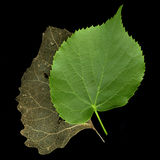 Two leaves - concept of time passing or old and ne Royalty Free Stock Photos
