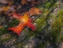 Two Leaves on a Log. Filtered sunlight through forest trees found a red leaf with a companion yellow-orange leaf resting on a fallen log.  Pretty contrast in Stock Photo