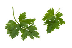 Two leaves of parsley Stock Images