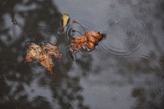 Two Leaves in a Rain Puddle Stock Images