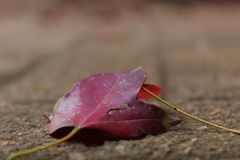 Blooded Autumn Royalty Free Stock Image