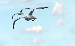Two left looking flying seagulls Royalty Free Stock Photos