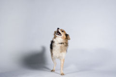 Two legged dog looking at its master Royalty Free Stock Photography