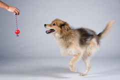 Two legged dog running after a toy Stock Image