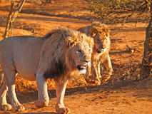 Two leisurely male lions walking together. In heat of African day Stock Photo
