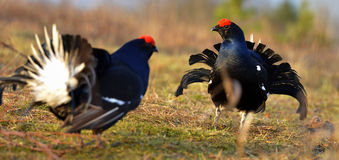 Two lekking black grouses Stock Photography