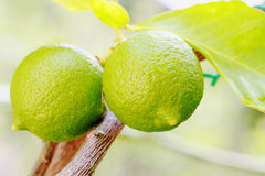 Two lemon organic Stock Photography