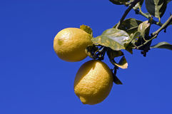 Two Lemons. On tree against deep blue sky in late afternoon sun stock photos