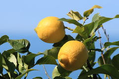 Two lemons. Hanging on lemon tree royalty free stock images