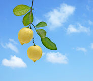 Two lemons on branch Royalty Free Stock Photos