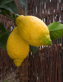 Two lemons on a branch Stock Images