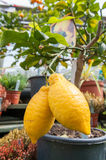 Two lemons on a small tree Stock Photos