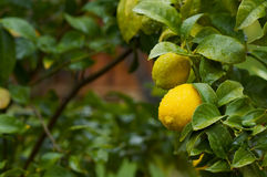 Two lemons on a tree Stock Photography