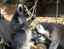 Two lemur apes eating. In the zoo stock image