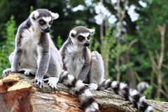 Two lemur monkeys are resting Stock Images