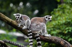 Two lemurs on the branch. Two lemurs on the wooden branch in the zoo Stock Images