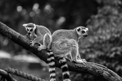 Two lemurs on the branch. Two lemurs on the wooden branch in the zoo Royalty Free Stock Photo
