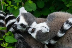 Two lemurs cose up in the natural environment royalty free stock image
