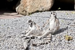 Two lemurs grooming. The two lemurs are sitting on the rocks grooming each other Royalty Free Stock Photography