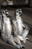 Two Lemurs sitting Stock Image