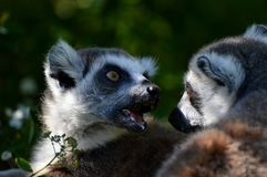 Two lemurs. Two black and white lemurs in the zoo Royalty Free Stock Image