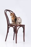 Two Leopard Cats Stock Photo