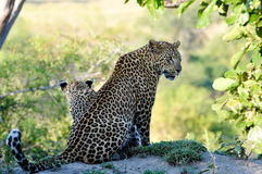 Two Leopard closeup Bookends Royalty Free Stock Photography